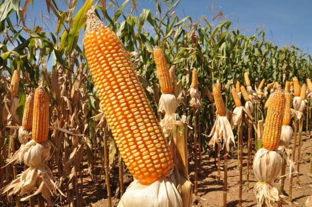 O milho registrou um crescimento recorde de 53,7%
