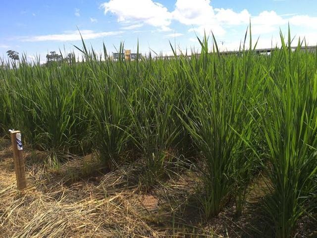 No Seminário, será apresentado a nova cultivar BRS Catiana, lançado no mercado agrícola durante a Agrotins 2016