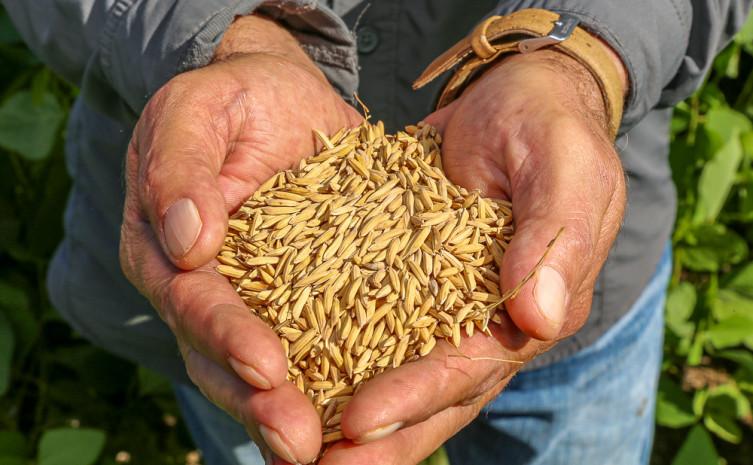244090.jpeg Ciência contribui com o avanço da produção de arroz no Tocantins