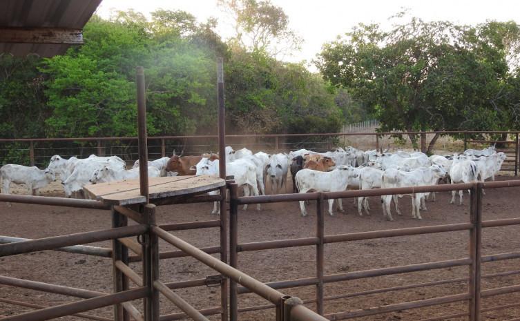 261495 Gado furtado em fazenda no sul do estado é localizado pela polícia